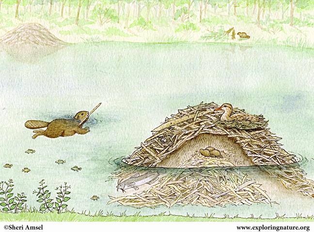 Beaver lodge diagram - photo#37