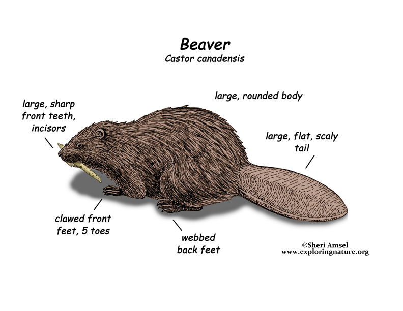 Beaver lodge diagram - photo#47