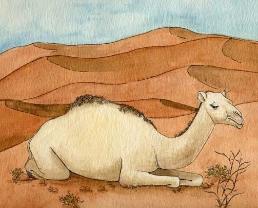 Camel (Dromedary)