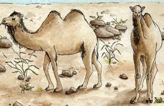 Camel (Bactrian)