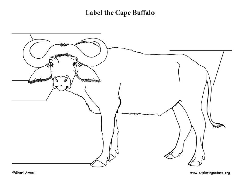 Cape Buffalo Labeling Page