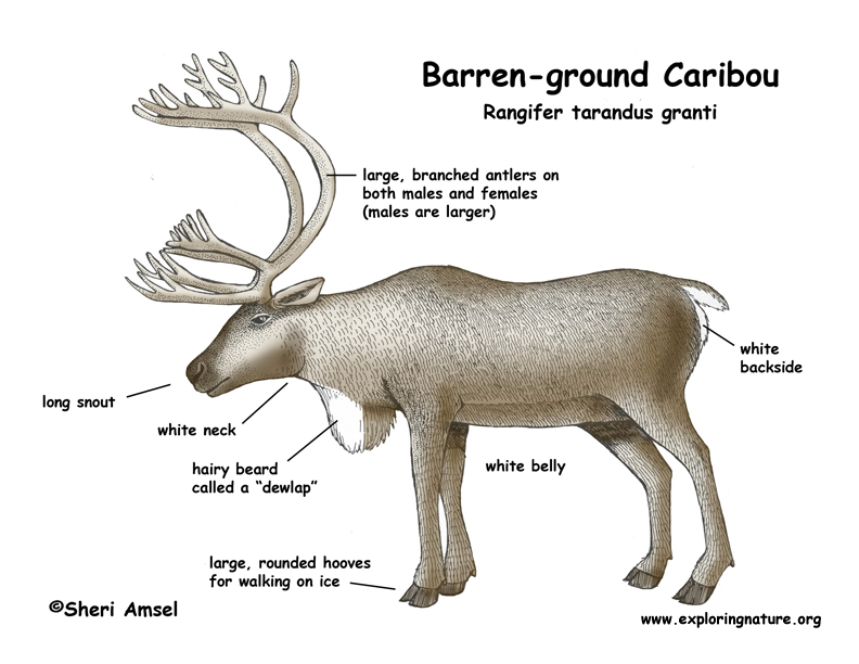 Caribou Barren Ground And Woodland