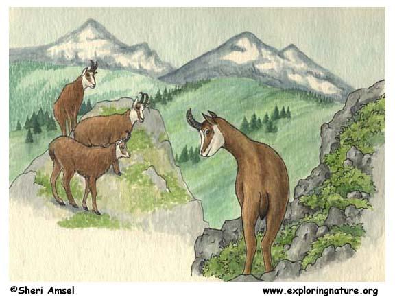 Chamois Antelope