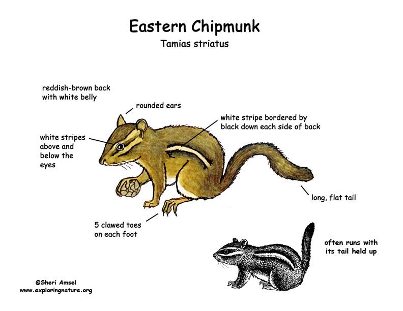 Chipmunk (Eastern)