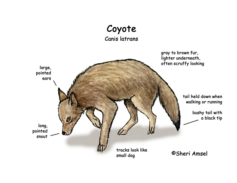 Coyote  Coyote