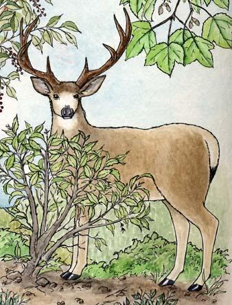Deer (Mule)