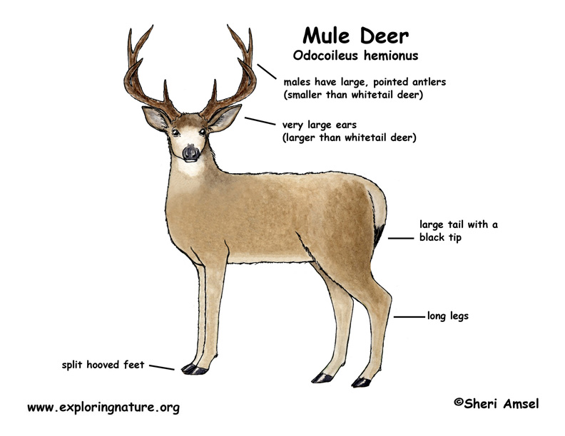 Body Diagram Of Deer - Electrical Work Wiring Diagram •