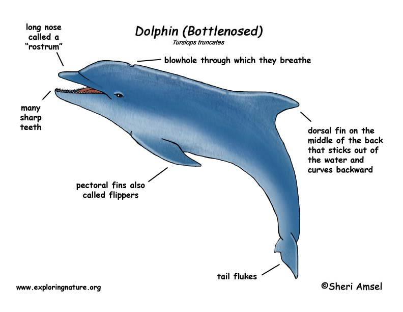 dolphin (bottlenose) dolphin pool cleaner wiring diagram #7