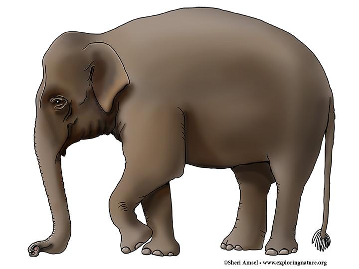 Elephant (Asian) or Indian Elephant