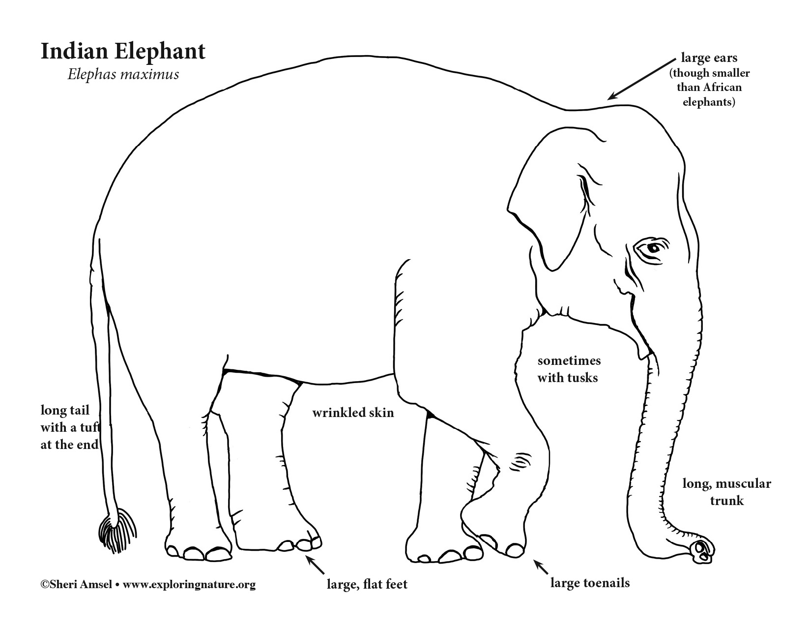 Asian Elephant Coloring Page
