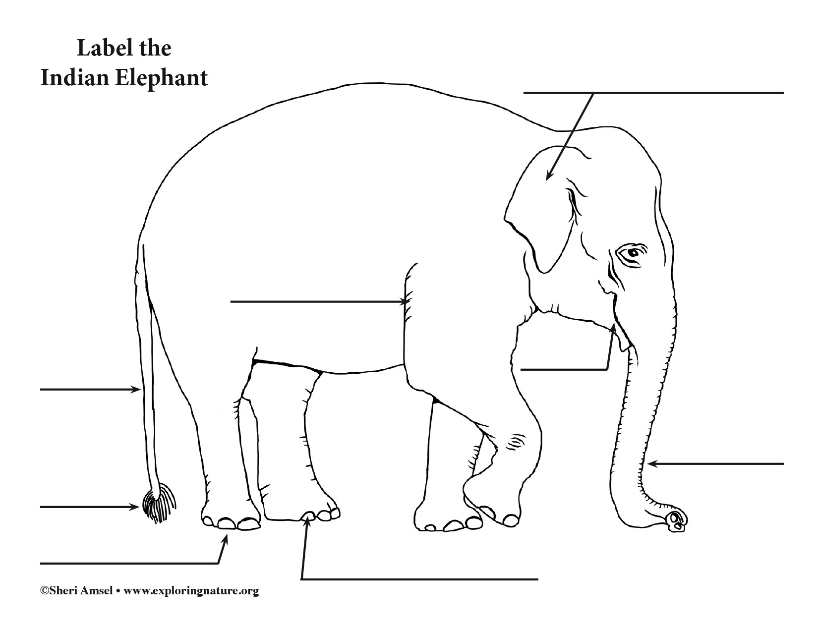 Elephant (Asian) Labeling Page