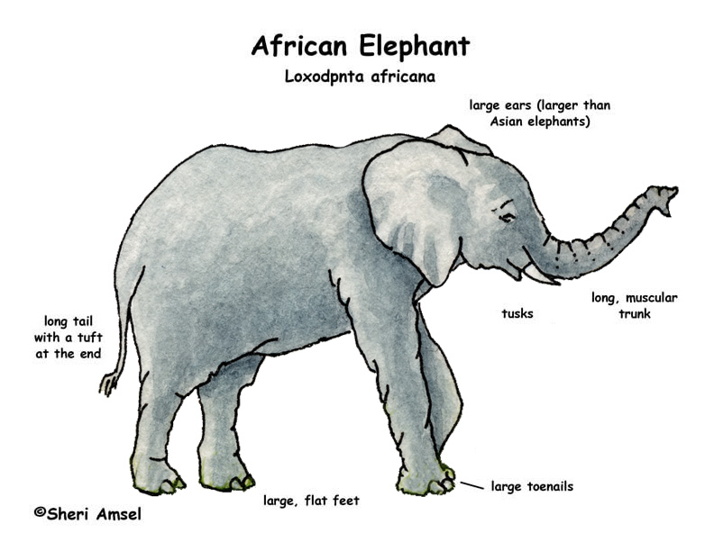 Elephant Body Parts Name http://www.exploringnature.org/db/detail.php?dbID=43&detID=955