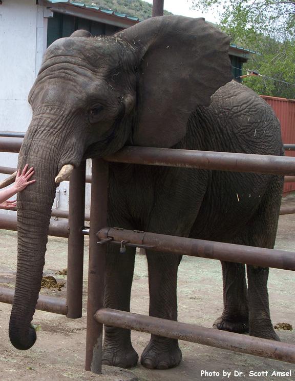 Elephant (African)