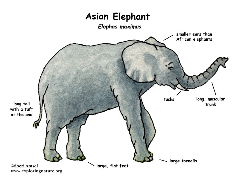 Asian or indian elephant elephant asian or indian elephant ccuart Image collections