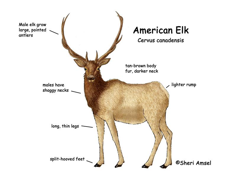 Elk (American)