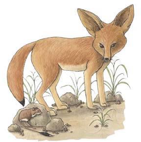 Fox (Fennec)