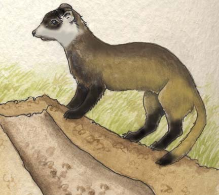 Ferret (Black-footed)