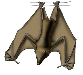 Flying Fox (Grey-headed), Megabat