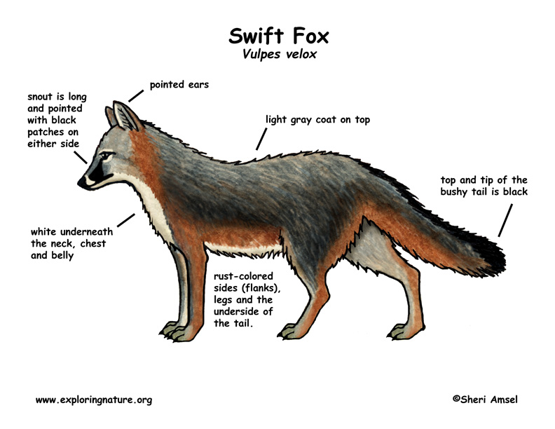 Fox (Swift)