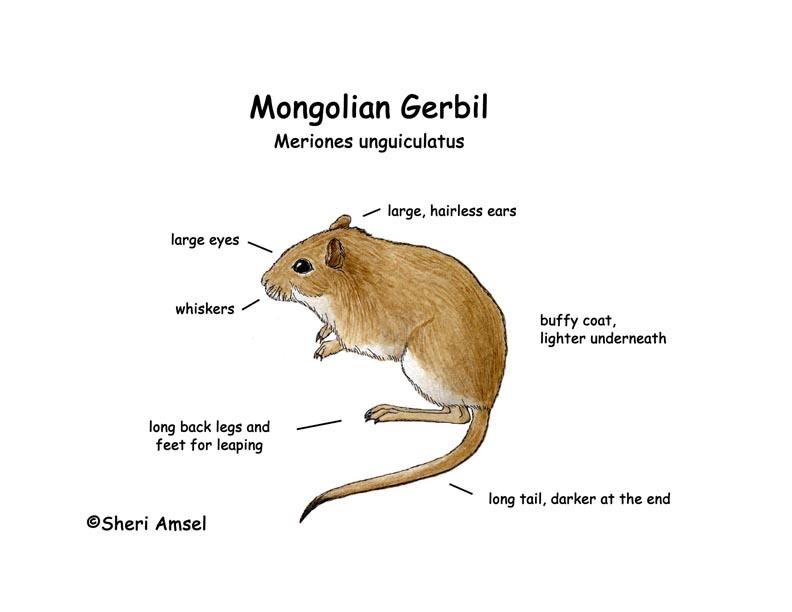 Gerbil (Mongolian)