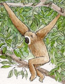 Gibbon (White-handed)