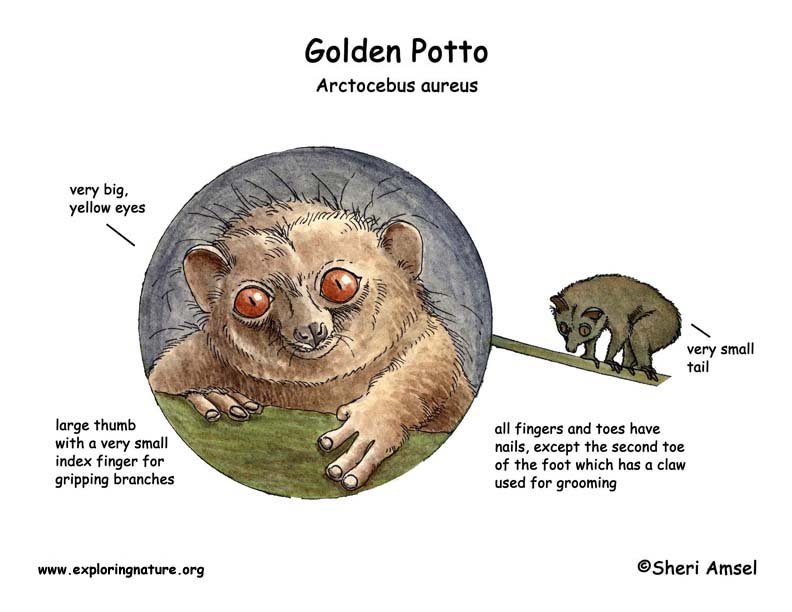 Potto (Golden)
