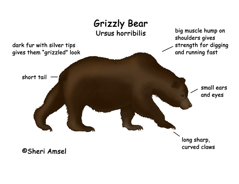 grizz_diagram grizzly)