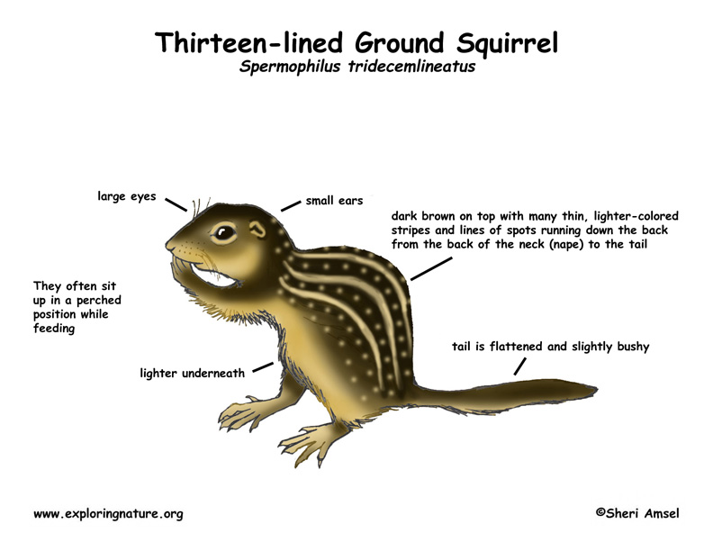 Ground Squirrel (Thirteen-lined)