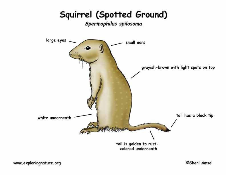 Ground Squirrel (Spotted)