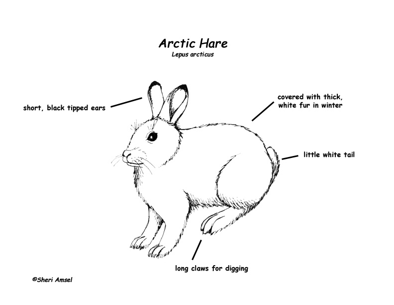 hare  arctic