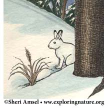 Hare (Snowshoe)
