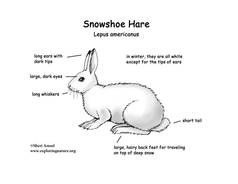Hare Snowshoe