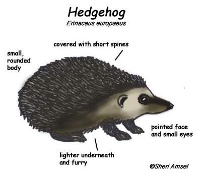 Image result for hedgehog diagram