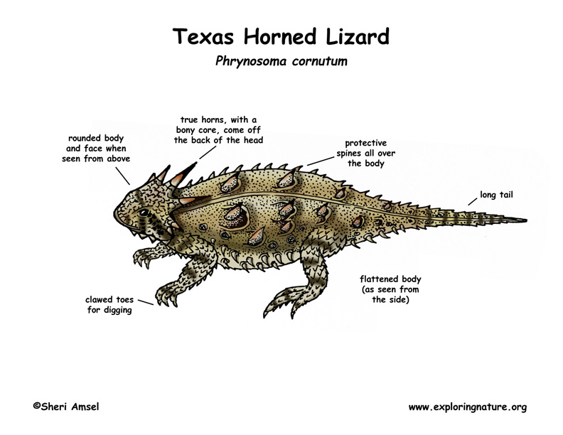 Body Parts of a Lizard http://www.exploringnature.org/db/detail.php?dbID=43&detID=2919