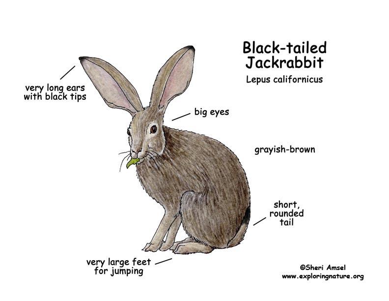 Jackrabbit (Black-tailed)