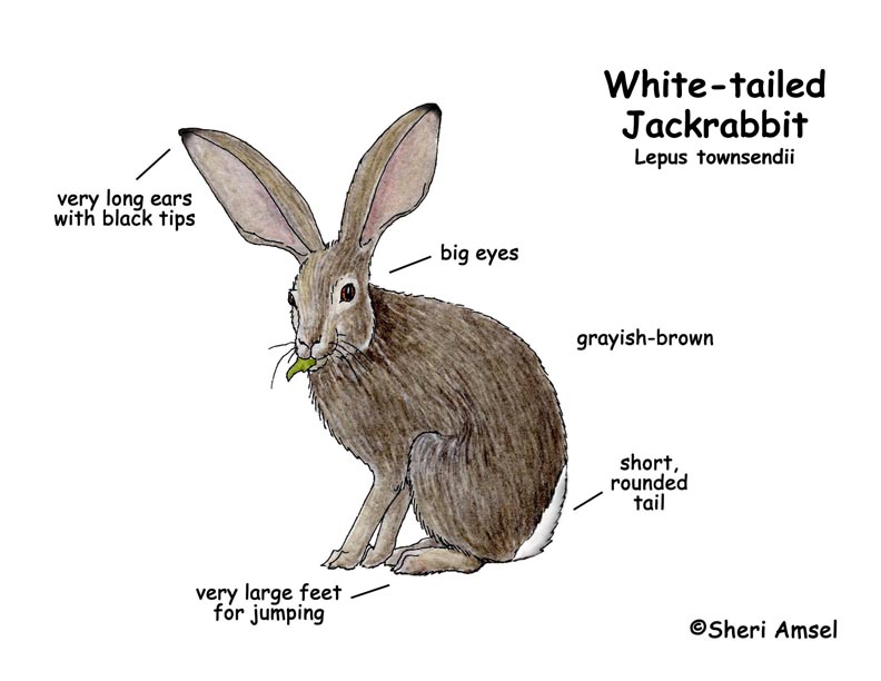 Jackrabbit (White-tailed)