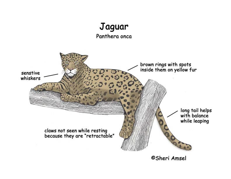 Diagram Of A Jaguar Animal Wiring Nl Cat Organs