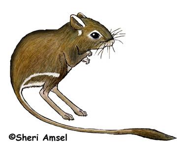 Kangaroo Rat (Ord's)