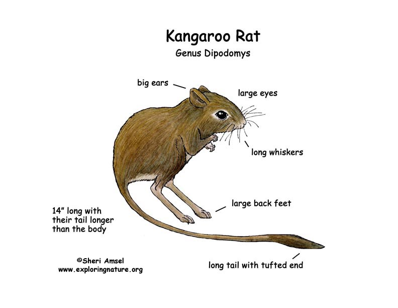 how to tell diffrence between rat and native rat