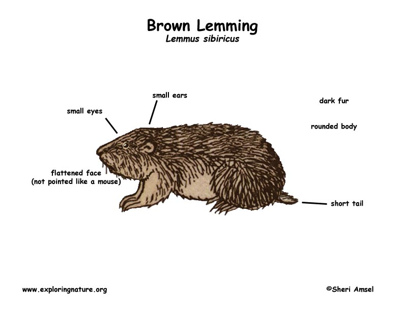 Lemming (Brown)