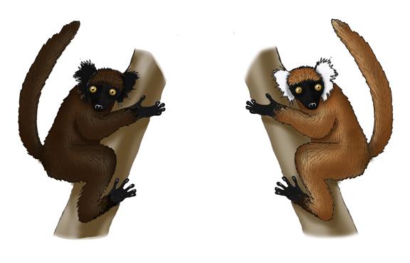 Lemur (Black)