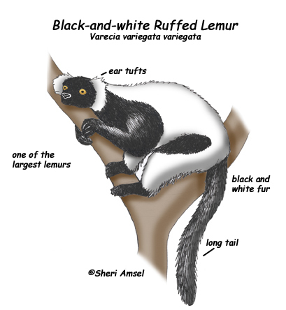 Lemur (Black-and-white Ruffed)