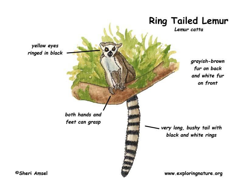 Image result for lemur diagram