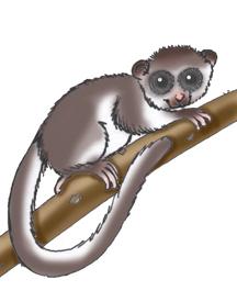 Lemur (Coquerel's Dwarf)