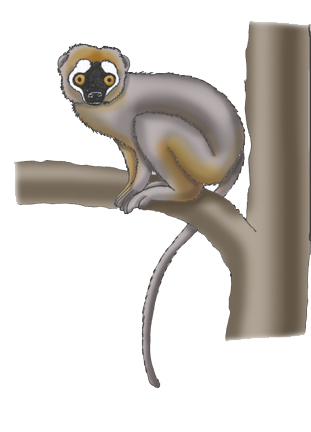 Lemur (Red-fronted Brown)