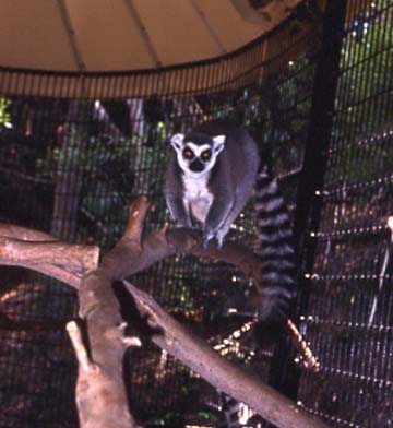 Lemur (Ring Tailed)