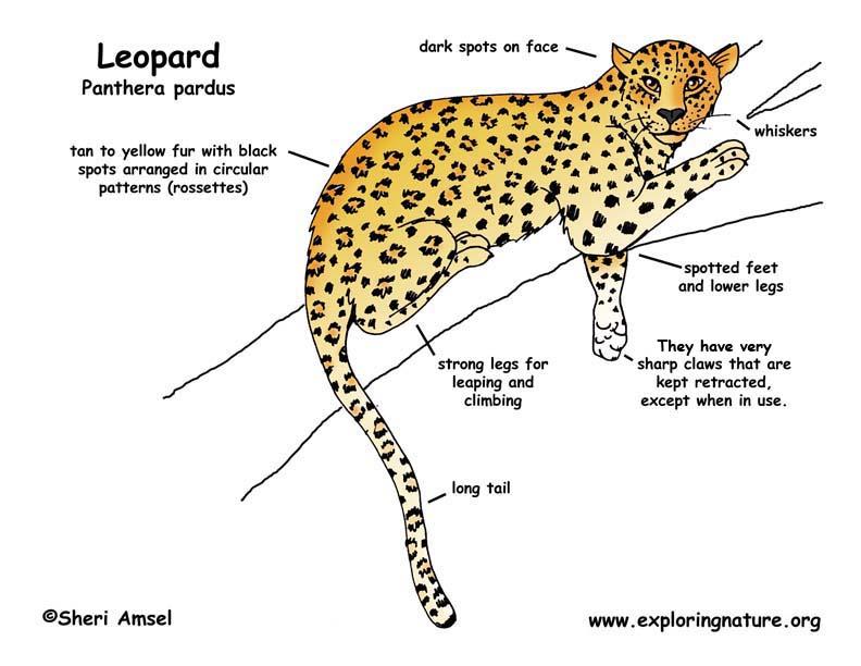 diagram of cheetah fav wiring diagram Diagram of Common Bat
