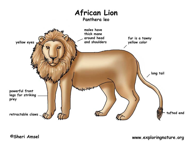 lion_diagram_color lion (african)