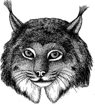 Lynx (Canadian)
