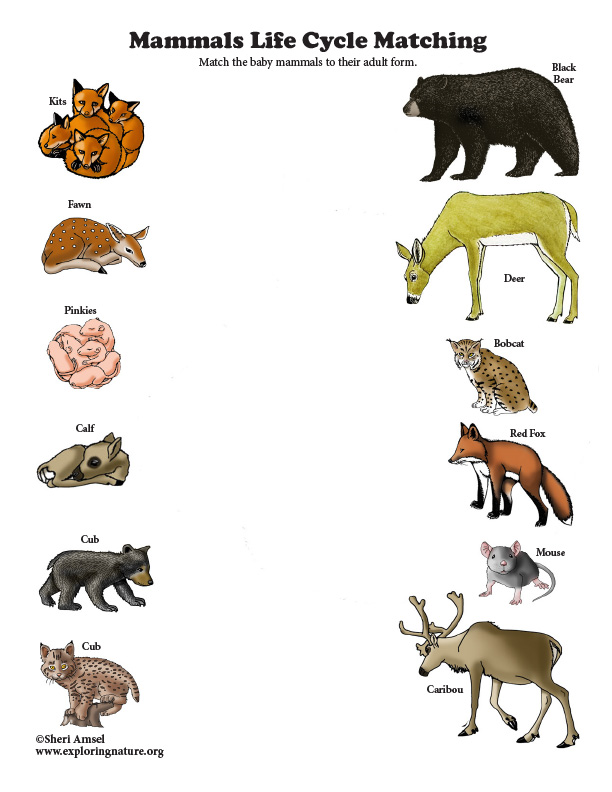Mammals Life Cycle Matching